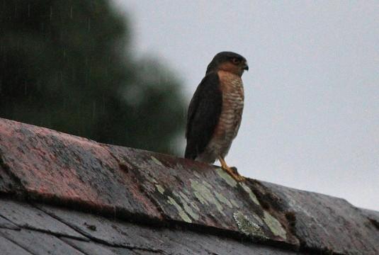 Sparrowhawk - juvenile