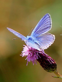 Common Blue, male