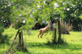 Our resident roe deer