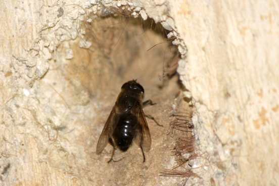 A Blue Mason bee, a type of solitary bee, in the cob wall of one of our barns.