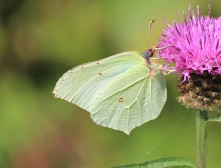 Brimstone - female