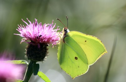 Brimstone - male