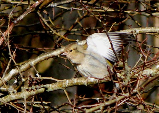 Chaffinch - female, after a bath in the stream