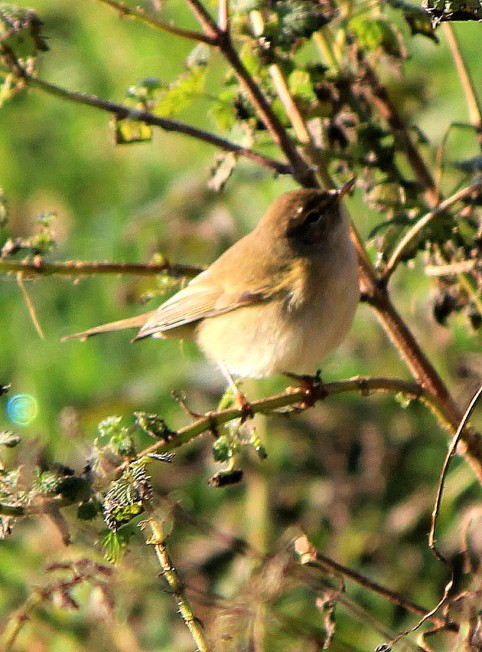 Chiffchaff in winter