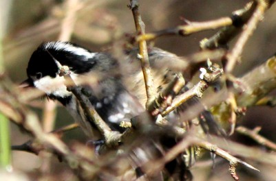 Cole tit - after his bath in the stream