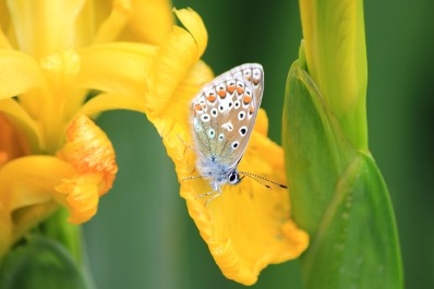 Common Blue (underwing)