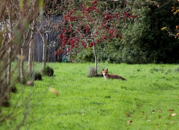 Fox in the orchard.