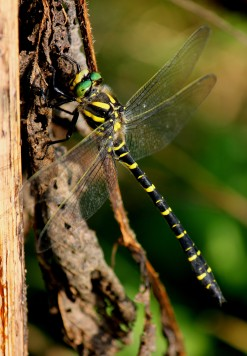 Golden-ringed Dragonfly. A voracious hunter.
