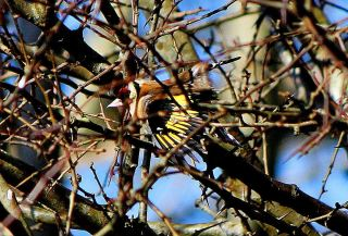 Goldfinch after a bath in the stream