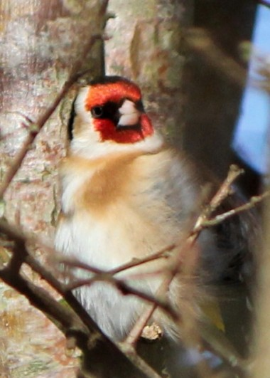Goldfinch -after his bath in the stream.