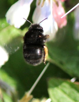 Hairy-footed flower bee (female)