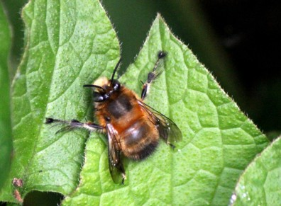 Hairy-footed flower bee (male)