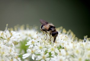 Hoverfly (Cheilosia illustrata)