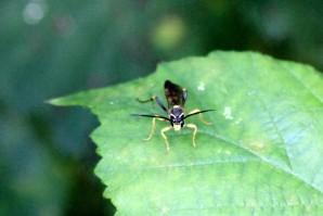 Ichemon fly