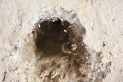 A Leaf Cutter bee nesting in a cob wall.