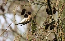 Lesser redpoll (male)