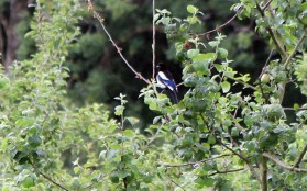 Magpie in the apple trees