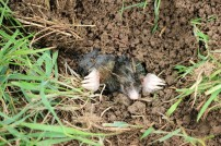 Mole (killed by a badger?)