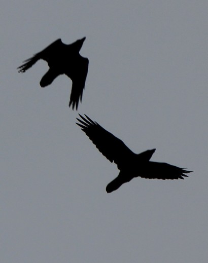Pair of Ravens circling over the orchard
