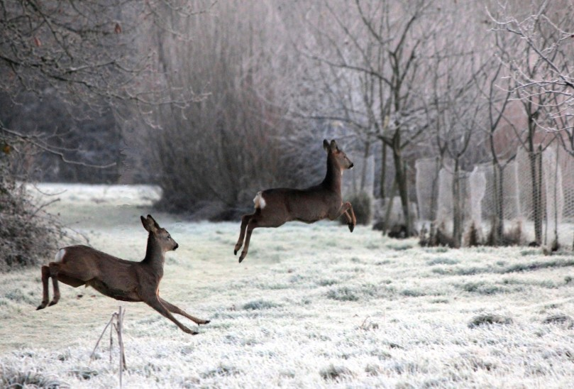 Roe deer after a heavy frost
