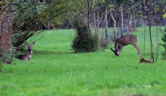 Roe deer (mother on the left).
