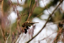 Lesser redpoll (female)