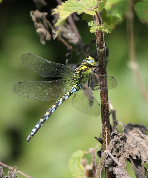 Southern Hawker - male. Doesn't often land, so difficult to photograph!