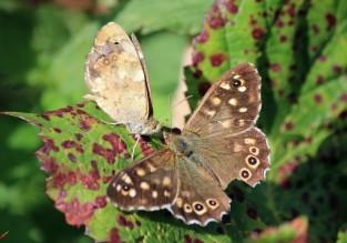 Speckled wood - mating ritual