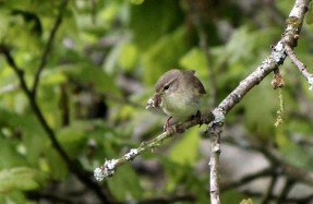 Willow Warbler feeding