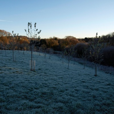 'Standards' at the bottom of the orchard, November 2012