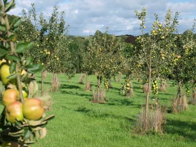 A decent crop of Lord Derby, September 2013