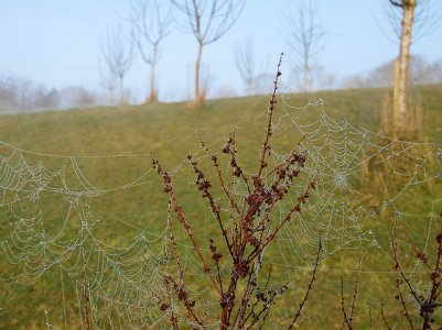 Dew-laden webs at the bottom of the orchard, 2014