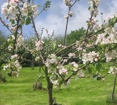 Tom Putt's May apple blossom, 2014