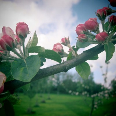 May apple blossom, 2014