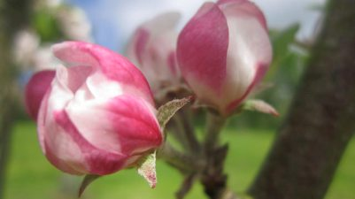 May apple blossom, 2014