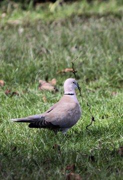 Collared dove nest building