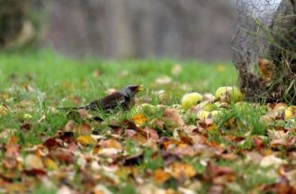 Fieldfare eating apples