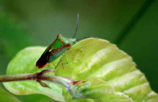 Hawthorne Shield Bug