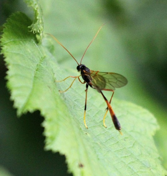 Ichneumon Wasp, female