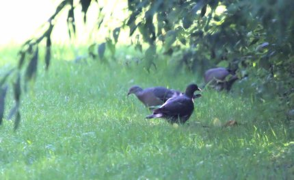 Wood Pigeons (immature)