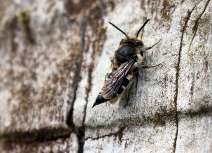 Sharp-tailed bee (or Cuckoo bee), female