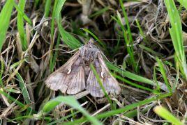 Silver Y Moth