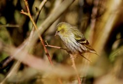 Siskin - female