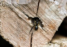 Solitary bee's log-pile nest