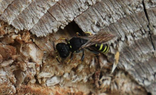 Solitary wasp – of the Ectemnius species