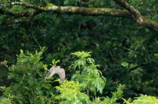 Sparrowhawk (female)
