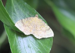 Yellow-Shell Moth