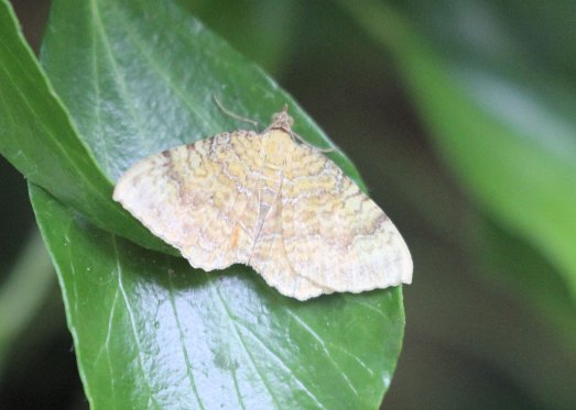 Yellow-Shell Moth