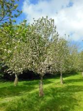 Tiddecombe Seedling variety (N Devon), May 2018