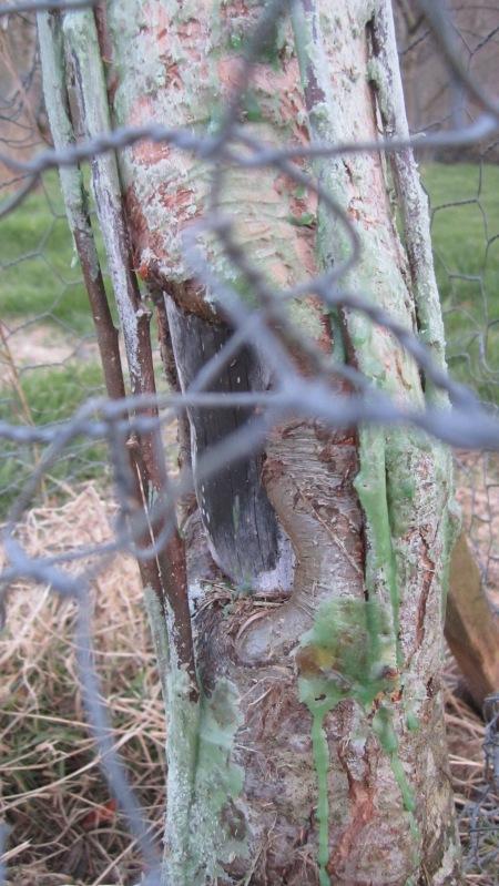 Grafting scions to bridge rabbit damage to bark